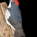 """""""Holes in a Pole"""" - Acorn Woodpecker"""